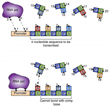 Simple model of DNA transcription